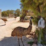 Denham Emu